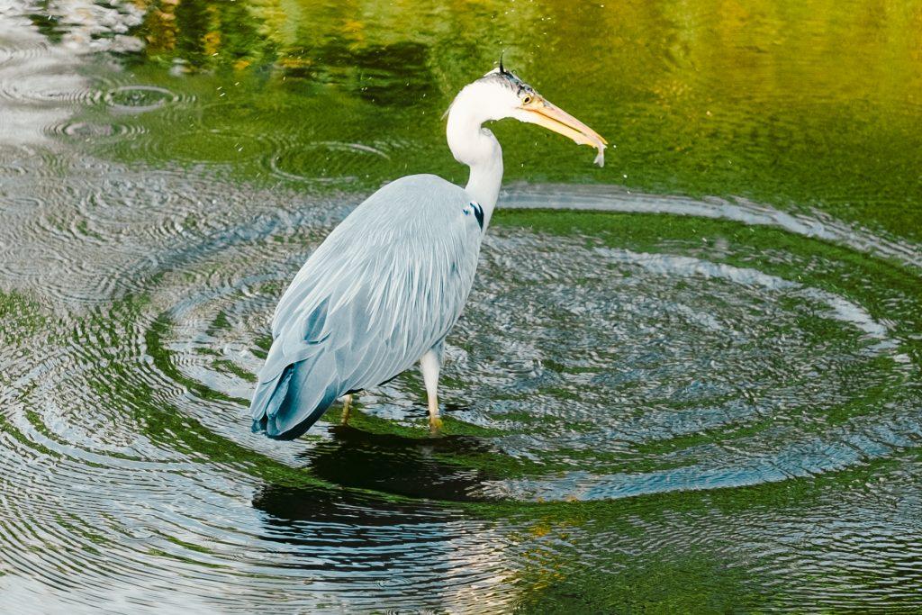 Blauwe reiger met vis, Reeuwijkse Plas, Gouda © 2018 Matthijs Jonker Fotografie