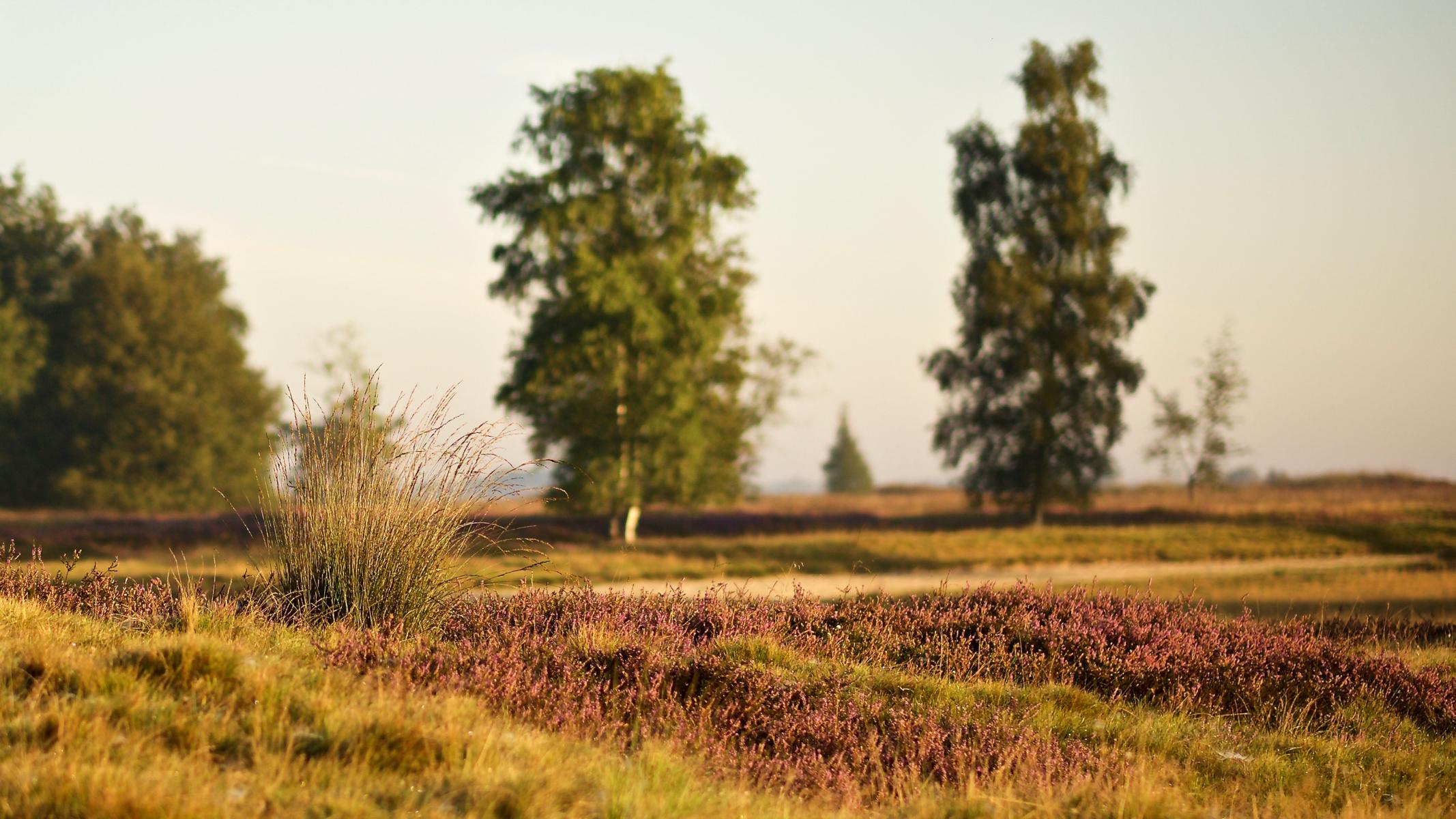Bloeiende heide zonsopgang, Balloërveld, Drenthe © 2018 Matthijs Jonker Fotografie