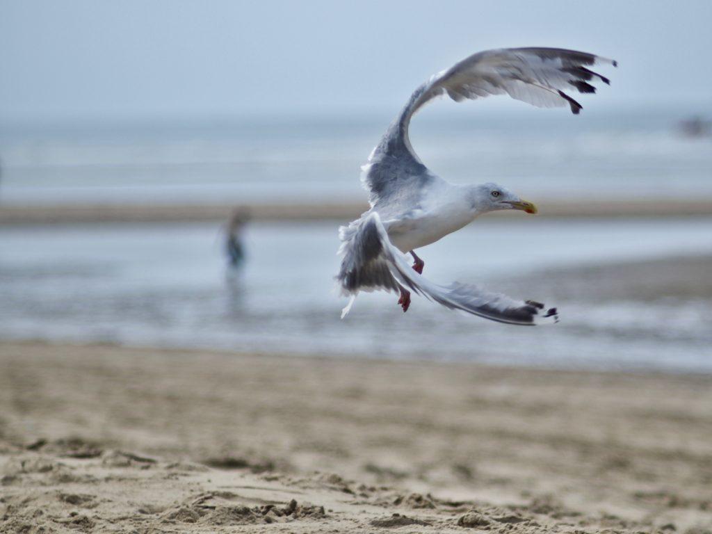 Meeuw in vlucht op het strand, Katwijk aan Zee © 2017 Matthijs Jonker Fotografie