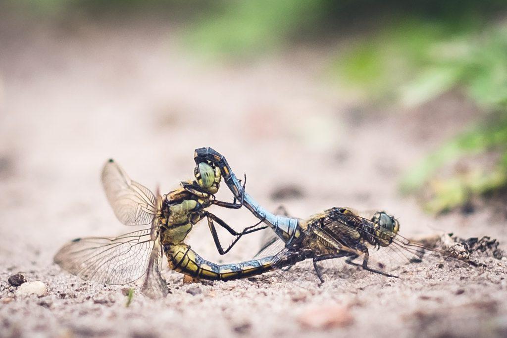 Parende libelles © 2018 Matthijs Jonker Fotografie