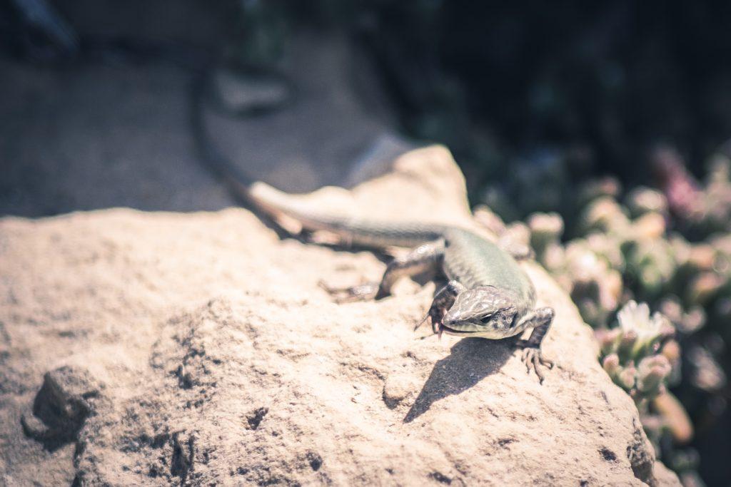 Salamander op Malta © 2018 Matthijs Jonker Fotografie